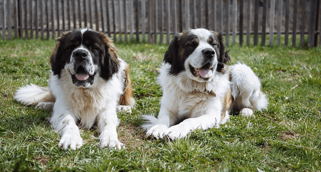 Московская сторожевая собака - окрас