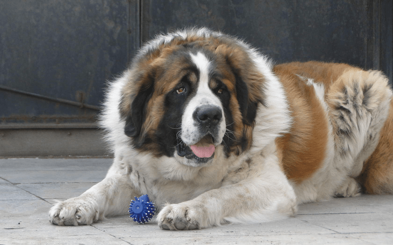 Московская сторожевая собака - характер