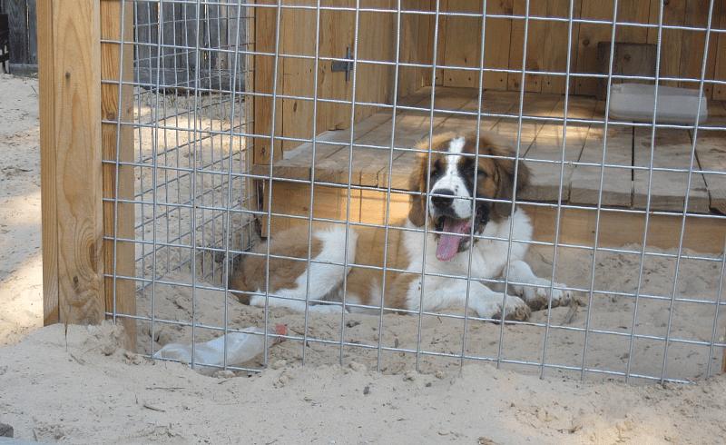 Московская сторожевая собака в вольере
