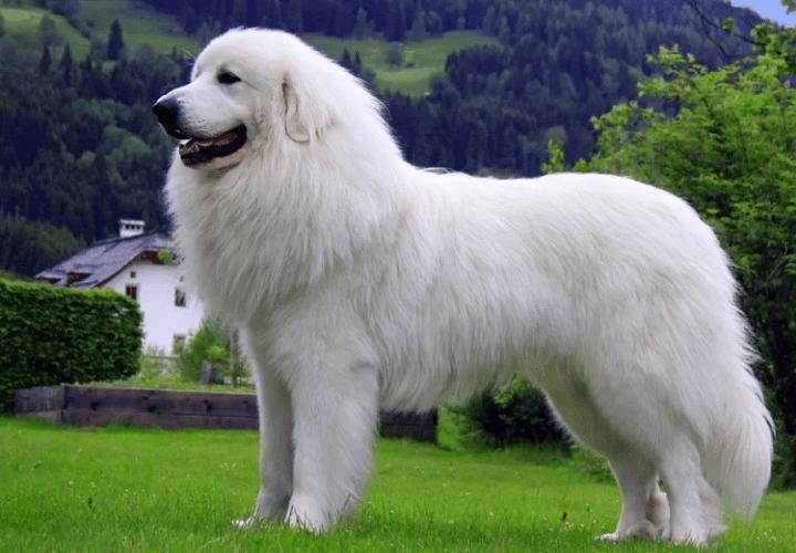 Пиренейская горная собака - главное фото