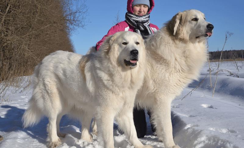 Пиренейская горная собака - размеры