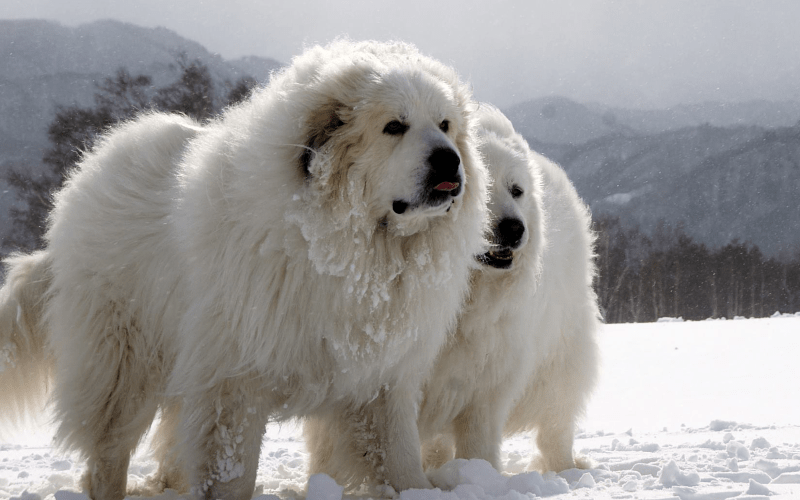 Пиренейская горная собака - история