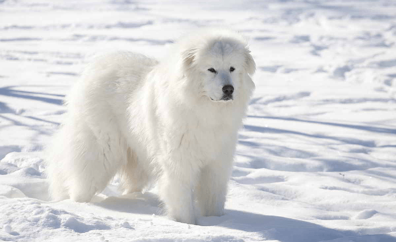 Пиренейская горная собака - окрас