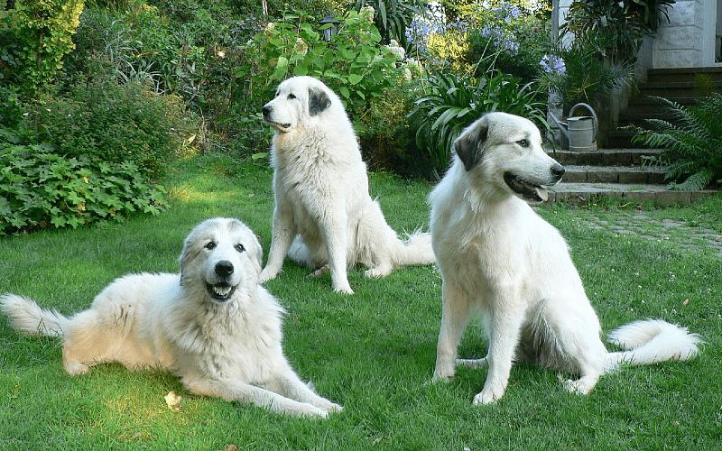 Пиренейская горная собака - прогулки