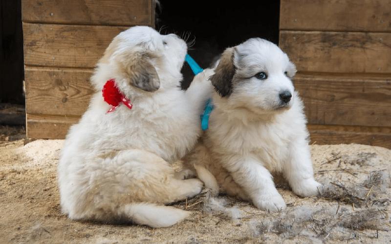 Пиренейская горная собака - щенки