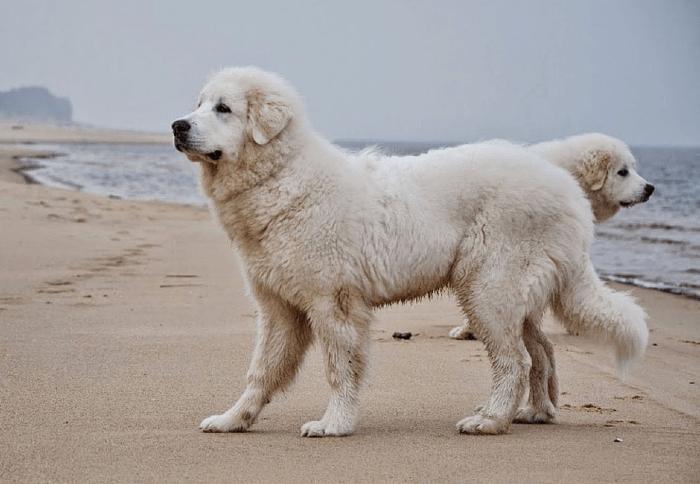 Пиренейская горная собака - уход
