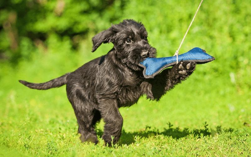 Ризен щенок
