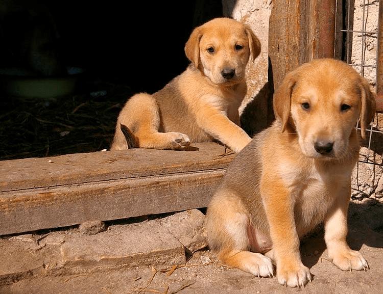 Русская гончая - щенки