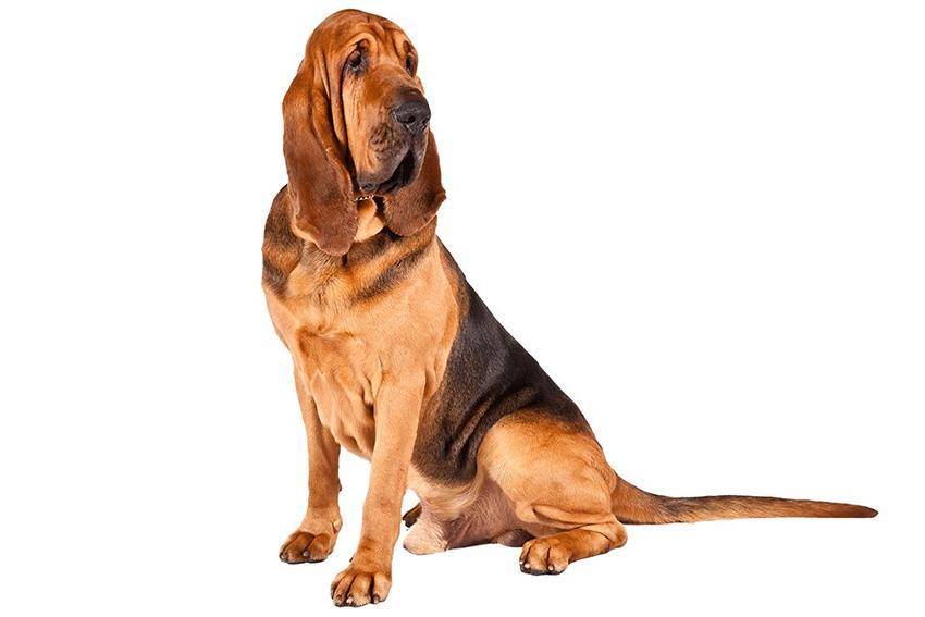 Собака Бладхаунд - уход