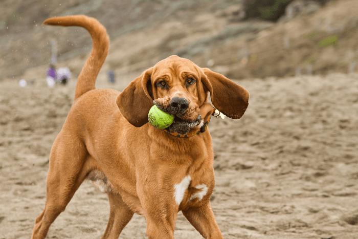 Собака Бладхаунд - дрессировка