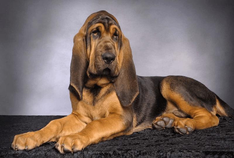 Собака Бладхаунд - щенок