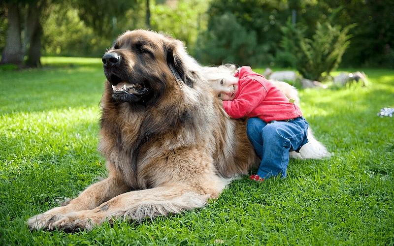 Собака Леонбергер - порода и дети