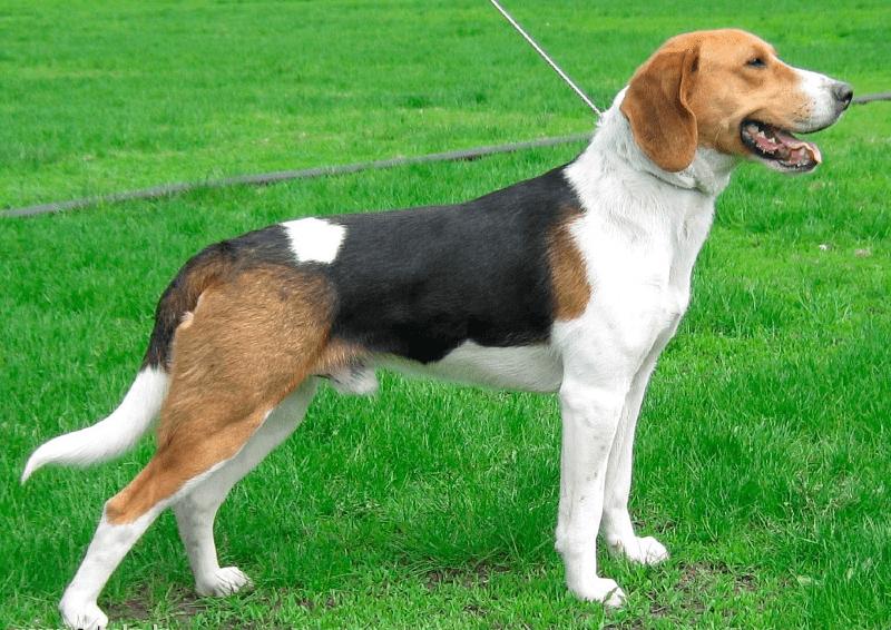 Собака эстонская гончая