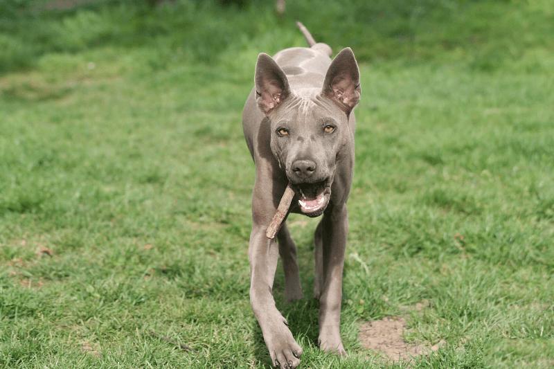 Тайский риджбек - щенок