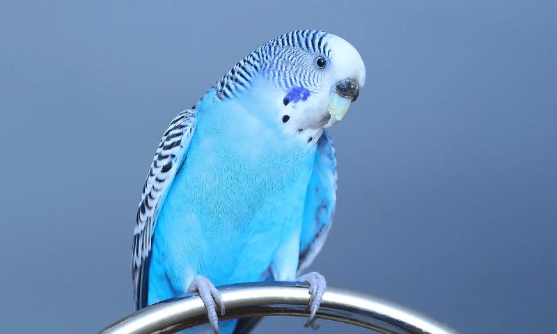Учим разговаривать волнистого попугая (1)
