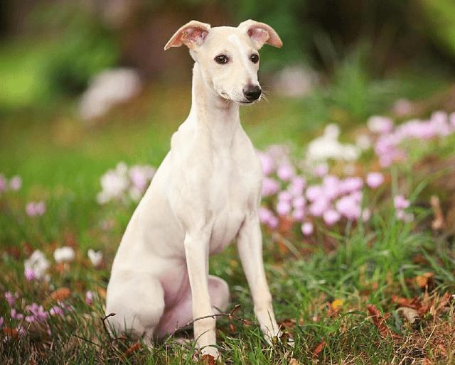 Уиппет - щенок
