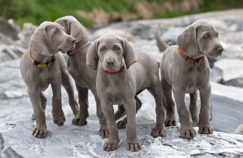 Веймаранер - щенок