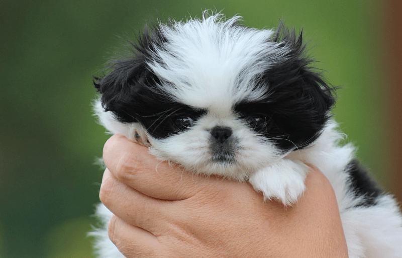 Японский хин - щенок