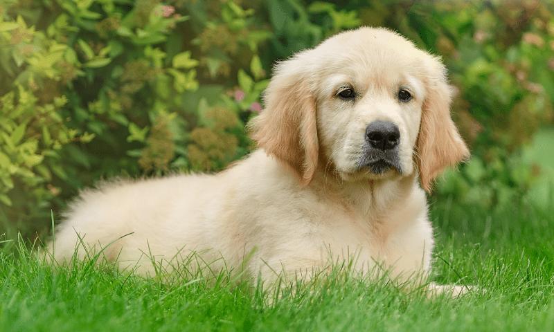Золотистый ретривер - щенок