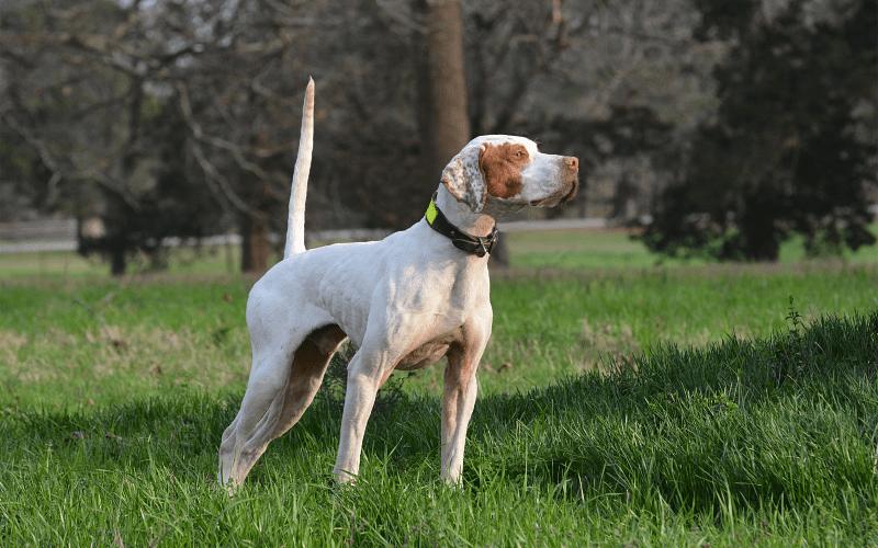 Английский пойнтер - порода собаки