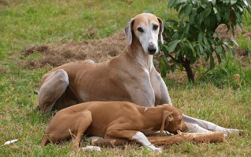 Азавак с щенком
