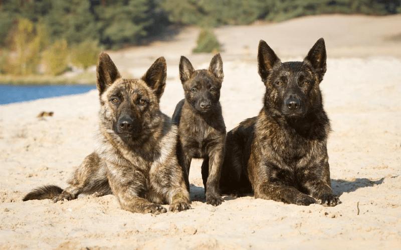 Голландская овчарка с щенком