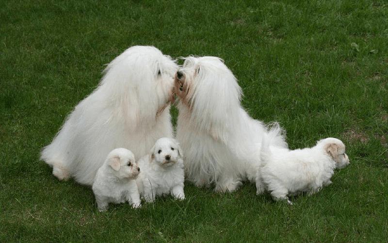 Котон де тулеар с щенками