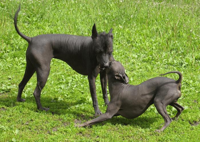 Перуанская голая собака - прогулки и игры