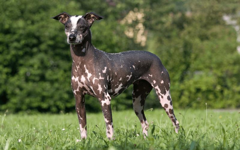 Перуанская голая собака - окрас