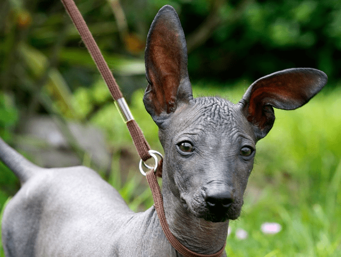 Перуанская голая собака - щенок