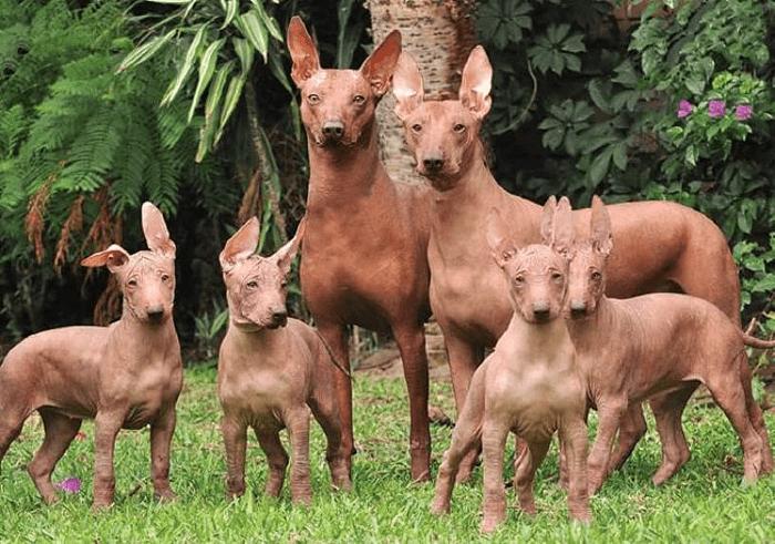 Перуанская голая собака - половое созревание