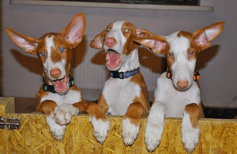 Поденко ибиценко - щенки