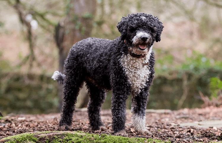 Португальская водяная собака - главное фото