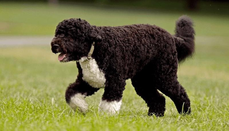 Португальская водяная собака - история