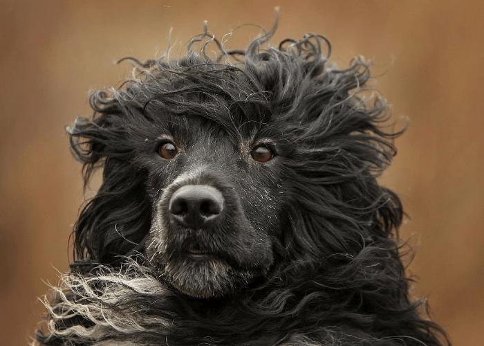 Португальская водяная собака - гигиена