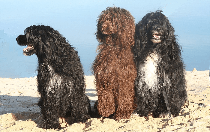 Португальская водяная собака - окрасы