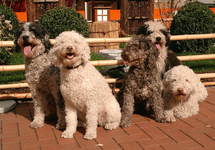 Португальская водяная собака - выбор питомца