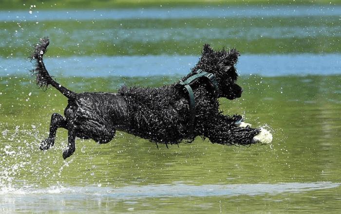 Португальская водяная собака - прогулки