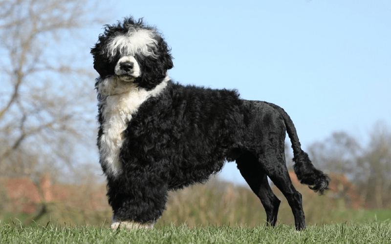 Португальская водяная собака - размеры