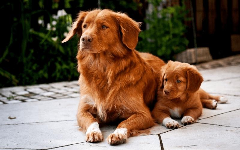 Ретривер с щенком