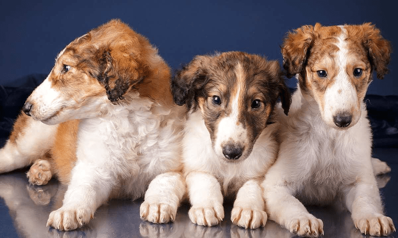 Русская псовая борзая - щенки