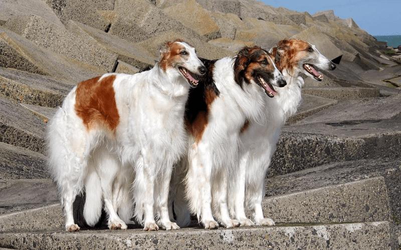 Русская псовая борзая - окрасы