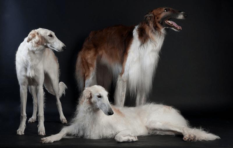 Русская псовая борзая - внешний вид