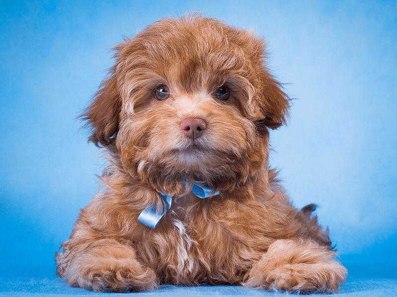 Русская цветная болонка - щенок