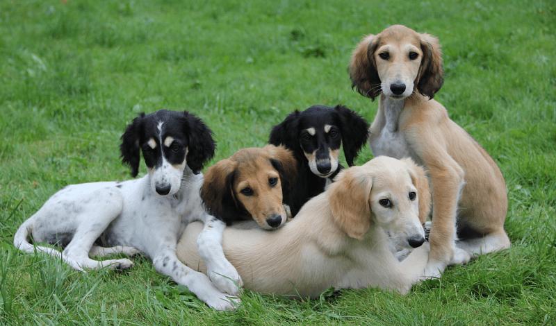 Салюки щенки