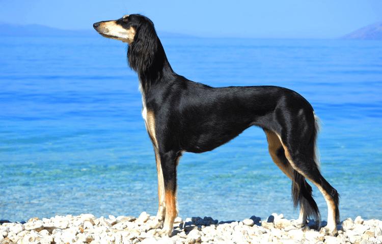 Собака Салюки - главное фото