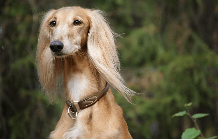 Собака Салюки - уход