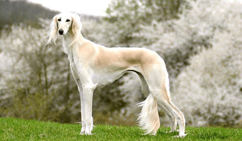 Собака Салюки - прогулки
