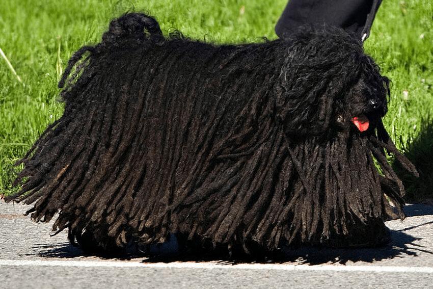 Венгерская овчарка пули - уход