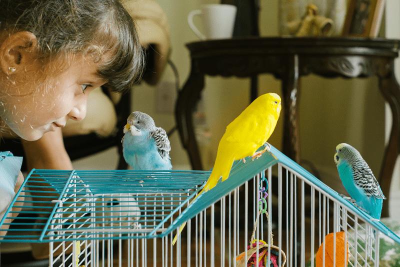 Учим разговаривать волнистого попугая - методики